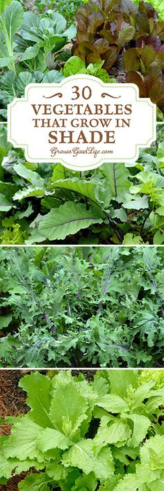 Do you have an area of your garden that is shaded part of the day? If you think you can't grow anything there, you are wrong. There are many vegetables that grow in shade. Some even thrive when sheltered from the intense rays from the summer sun.