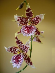 """Cambria orchid flowers. """"Cambria"""" is a commercial name for intergeneric hybrids of Odontoglossum, Oncidium, Miltonia, Cochlioda Lindl. and Brassia."""