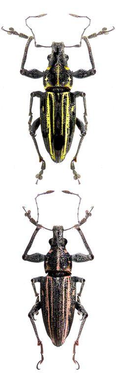 Naupactus rivulosus, two color habitus