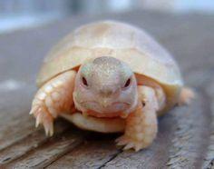 This baby albino turtle definitely belongs in Pokemon.