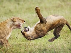 Fotógrafo flagra disputa de leões por presa.