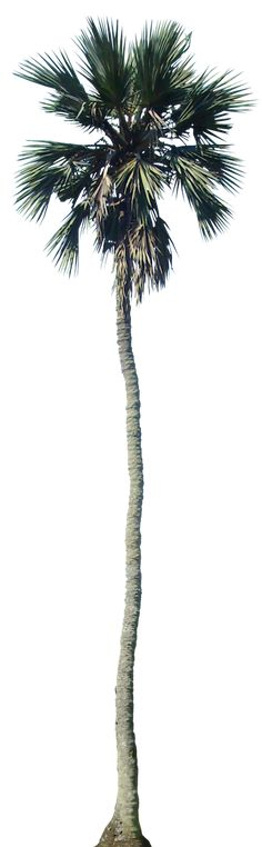 Tropical Plant Pictures: Palm