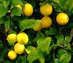 Citronnier : entretien, taille et récolte des citrons
