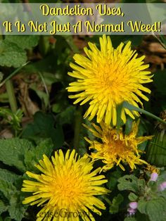 Dandelion Uses, It Is Not Just A Normal Weed! You may want to think twice before cutting or killing off those dandelions in the yard. They can be great for your health among other things.