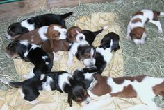 Image detail for -Basset Hound dog is an old aristocratic breed,