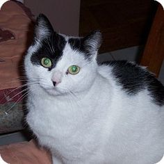 Domestic Shorthair Cat for adoption in Toronto, Ontario - Cattoo So beautiful and sweet. Good with other cats. Check her profile out. Incensewoman