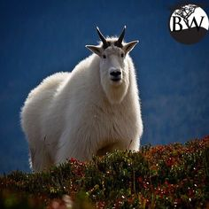 ⭕️VOLUNTEER OF THE DAY⭕️ Pat Costello @patsalaskaphotos The mountain goat is a member of the antelope family. It has a long face, long black horns and a short tail. They eat grasses, sedges, herbs, shrubs, ferns mosses and lichen. They are important to the environment by their droppings which add nutrients to the quality of the soil.Mountain Goats are very close to being on the endangered species list. Biologists and conservationists are trying to stop hunters from killing these herds.