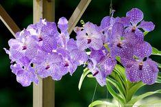 Peut-être moins connues que les phalaenopsis, les orchidées vanda sont tout aussi spectaculaires. Il existe plusieurs techniques de culture présentées en détails. House Plants Decor, Plant Decor, New Theme, Product Launch, Branches, Gardens, Culture, All Flowers, Planting Flowers