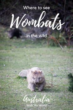 Wombats are another of Australia's unique and loveable animals, and we always love it when we come across them in the wild. Here's our guide to the best places to see wombats in the wild.