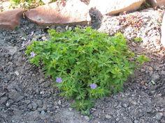 Full size picture of Cranesbill, Hardy Geranium 'Blue Sunrise' (Geranium)