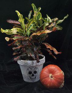 Croton Mexican Halloween, Planter Pots