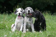 trois chiots dogue allemand