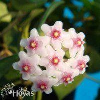 Hoya nummularioides Cutting