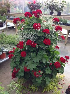 Calliope (dark red) geraniums with white Euphoria - gorgeous! Heat tolerant, easy care.