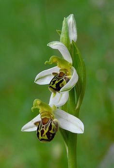 Ophrys apifera - Flickr - Photo Sharing!