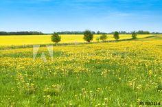 Endlich Frühling, Löwenzahn, gelbe Blumenwiese