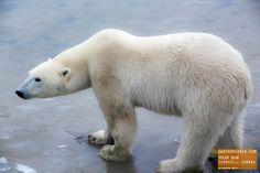 Polar Bear on Ice - Churchill Canada