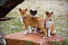 smooth collie puppies... Pretty sure this is what Daisy is mixed with (at least one of the breeds)!