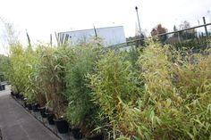 Verschillende bamboe soorten