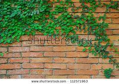 Climbing fig & Brick wall - stock photo