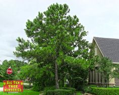 This majestic pine is often referred to as the 'telephone pole tree' and can reach heights of over 60ft once mature. Their fast growth rate makes them a popular choice for landscapes.