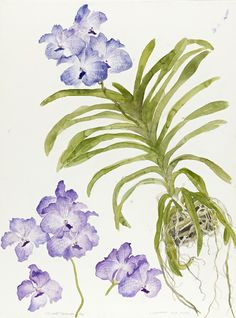 blue orchid Elizabeth Blackadder