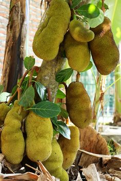 All over the Caribbean. Kinds Of Fruits, Types Of Fruit, Fresh Fruits And Vegetables, Exotic Fruit, Tropical Fruits, Fruit Plants, Fruit Trees, Jackfruit Tree, Fruit Bearing Trees