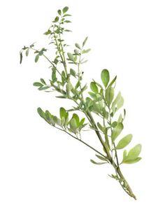 Chá de arruda – Benefícios da planta e sua infusão