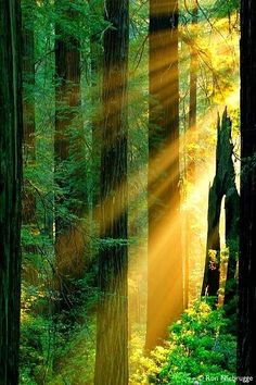 ✯ Sun Rays - Redwood Forest, California, we aren't just hippies and potheads, we have the most beautiful scenery in the world everyone enjoys. I LOVE CALIFORNIA.