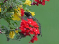 Hummingbird Hummingbird, Parrot, Wildlife, Photos, Animals, Parrot Bird, Pictures, Animales, Animaux