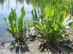 Vassgro (Alisma plantago-aquatica)
