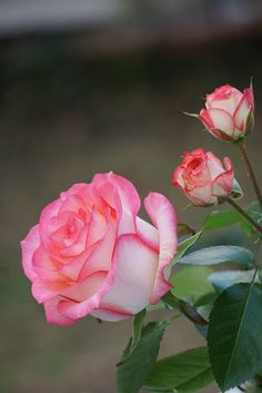Exotic Flowers, Amazing Flowers, Love Flowers, Pretty Roses, Beautiful Roses, Rosa Rose, Types Of Flowers, Pink Roses, Flower Power