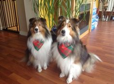 Brothers sitting pretty #shelties