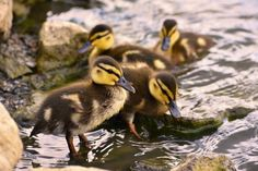 Beautiful young duck on the surface of a... | Free Photo #Freepik #freephoto #background #baby #water #family Cute Ducklings, Baby Ducks, Brown Babies, Baby Yellow, Yellow Background, Summer Days, Free Photos, Baby Animals, Pond