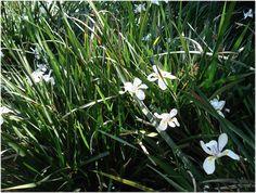 DIETES IRIDIOIDES:  Nome popular:Moréia/  Tipo: Herbácea/  Sinonímias: Dietes vegeta (L.) N.E. Br., Moreia catenulata Lindl., Moreia iridioides L./  Família: Iridaceae/  Altura: 0,5 m/  Diâmetro: 0,45 m/  Ambiente: Pleno Sol/  Clima: Subtropical, Tropical,Tropical de altitude/  Origem: África do Sul/  Época de Floração: Primavera, Verão,Outono/  Propagação: Divisão da planta ou touceira/    Persistência das folhas: Permanente/  Obs: Se desenvolve melhor em climas frios.