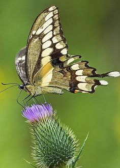 Giant swallowtail (Papilio cresphontes) on thistle, Ontario, Canada - 'Giant Beauty' by Nina Stavlund Butterfly Cocoon, Mariposa Butterfly, Butterfly Flowers, Beautiful Bugs, Beautiful Butterflies, Amazing Nature, Flying Flowers, Butterfly Pictures, Watercolor Projects