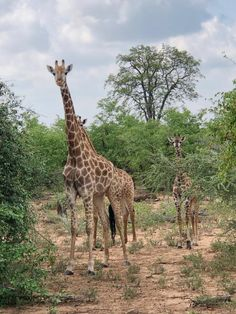Itinéraire de notre Road-trip Afrique du Sud – Mozambique Road Trip, Station Balnéaire, Giraffe, Africa, Travel, Animals, South Africa, Archipelago, Felt Giraffe