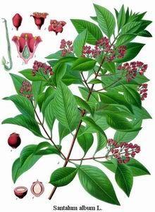sandalwood http://www.floracopeia.com/Store/Essential-Oils/Sandalwood.html #essentialoil #essentialoils #aromatherapy