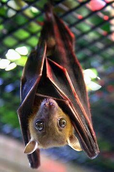 "From fickr - part of www.batconservation.org. This is a dog-faced fruit bat. (""I was given the rare and fascinating experience of stepping into some of the bat cages at Cranbrook Institute of Science in Bloomfield Hills, Michigan. Just me, my camera, and 160 live bats."")"