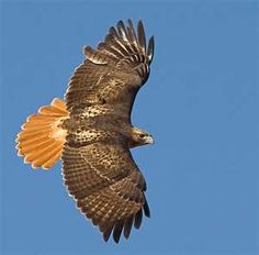 Red-Tailed Hawk (Buteo jamaicensis) 1/2/2012, HWY 82 between Starkville and Winona, MS (not actual photo)