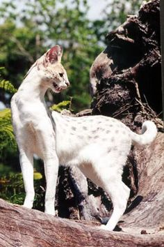 the white Serval, a coloration that occurs only in captivity. Normally they are wild but have been crossbred with domestic housecats to create the Bengal. They are not pets