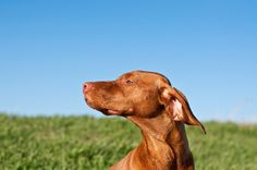 Vizsla with Green Field and Blue Sky | Flickr - Photo Sharing!