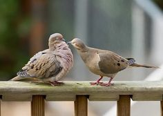 Mourning Doves (third place, behavior 2008)The Great Backyard Bird Count by George Ponder, AL