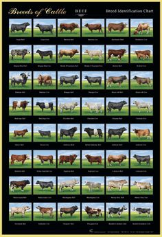 Breeds of Cattle                                                       …