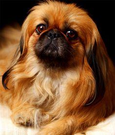 Royal Pekes. #pekingese #dog #pet #pets | pinned by http://www.kingdomofstonia.com
