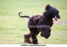 Afghan hound Stock Photo Images. 250 afghan hound royalty free pictures and photos available to download from over 100 stock photography brands.