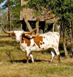You know you're in Texas when there's a longhorn in the yard! Longhorn Cow, Longhorn Cattle, Farm Animals, Animals And Pets, Cute Animals, Gado, Texas Forever, Beef Cattle, Loving Texas