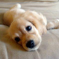 cocker spaniel puppy - sweet little face
