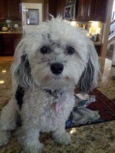 My Dottie - #maltipoo #dogs #cute!