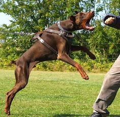 The Doberman Pinscher is among the most popular breed of dogs in the world. Known for its intelligence and loyalty, the Pinscher is both a police- favorite Doberman Pinscher Puppy, Doberman Love, Dangerous Dogs, War Dogs, Service Dogs, Dog Harness, Dog Breeds, Your Dog, Puppies